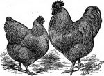 buying chickens in wiltshire