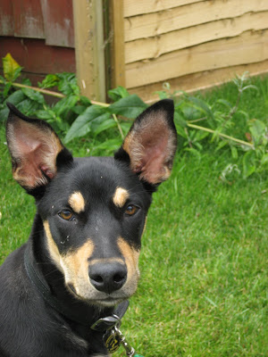 kelpie dog outside in garden