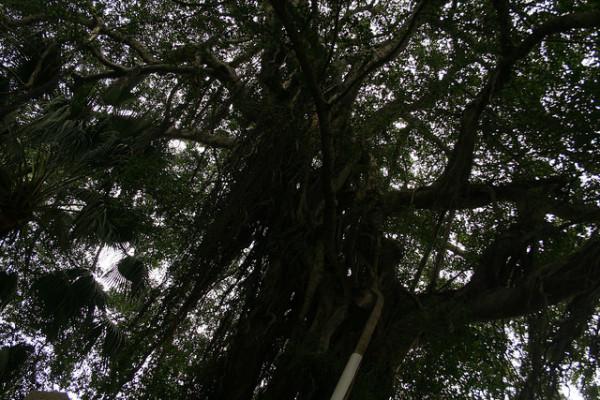 trees on gulangyu