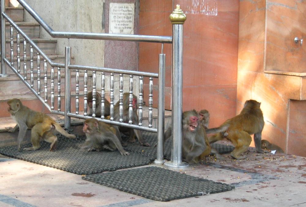 Shimla monkey temple